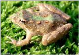 Northern Cricket Frog (Acris crepitans crepitans) 1