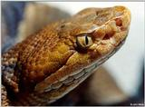Northern copperhead (Agkistrodon contortrix mokason) close-up 1