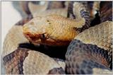 Northern copperhead (Agkistrodon contortrix mokason) close-up 5