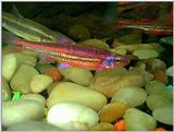 More Rainbow Shiners (Notropis chrosomus)