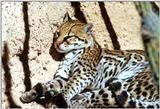 Re: Request for Ocelots Pics.