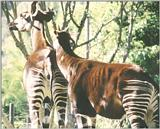 ...Animal photos from California - Okapi in San Diego Zoo - many more to come - attn. Protozoa love