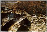 Re: King Cobra (Ophiophagus hannah) #2