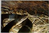 Re: Looking for Cobra pics - king cobra (Ophiophagus hannah)