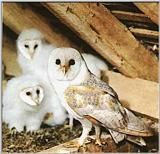 Re: OWLS -- Barn Owl