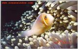 Another great shot from Palau.  Clownfish and Anemone