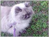 Pandora (himalayan) out for a walk