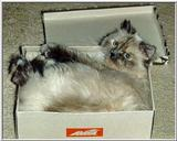 Pandora (cat) relaxing in a shoebox