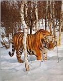 Tiger-in-Snow
