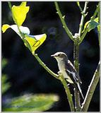 Spotted Flycatcher 1 of 5 - Papamoscas1.jpg (0/1)
