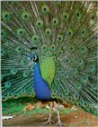 Peacock (J00) - Indian blue peafowl (Pavo cristatus)