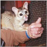 Re: ringtail cat pictures