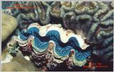 A great shot of a mantle of a clam taken in the Phillipines