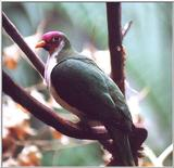 unknown bird2  --> Jambu Fruit Dove (Ptilinopus jambu)