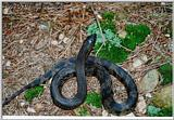 Re: Black pine snake - defensive position
