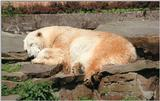 Y2K Hannover Zoo pics - Polar bear nap - many more to come