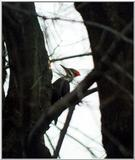 is this a woodpecker too?? -- pileated woodpecker (Dryocopus pileatus)