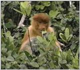 proboscis monkey female