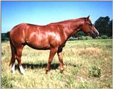 TWO YEAR OLD QUARTER HORSE FILLY