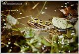 Southern Leopard Frog -Virginia