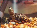 My Red-eared slider turtle under water