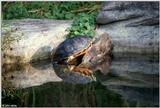 Red-bellied turtle (Pseudemys rubriventris)