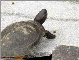 Red-eared Pond Slider (2/2)