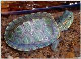 Neonate Red-eared Slider (Trachemys s. elegans)