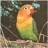 Red Mask Dwarf Parrot --> Peach- Faced Lovebird