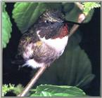 Re: REQ:  More Hummingbirds? - ruby-throated hummingbird male 00