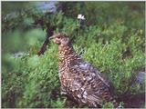 New -- Ruffed Grouse