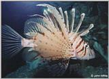 Clown Fish? --> Lionfish