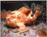 What a great shot of a Frogfish taken in Saba