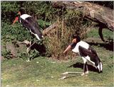 Hagenbeck Zoo aviary - can anyone name these two beauties? -- Saddle-billed Storks