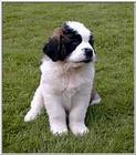 Re: Saint Bernards - stbernard puppy.jpg