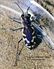 Tiger beetle, 336K