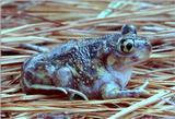 Re: Any wallpaper size toads pics?  Please. -- Eastern Spadefoot Toad (Scaphiopus holbrookii)