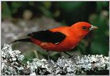 Re: colorful exotic birds please, Scarlet Tanager