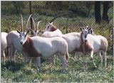 Scimitar Horned Oryx 1