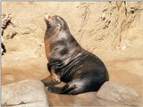 Scanning of my 1998 California pics resumed - Sea lion in San Diego Zoo - 1024x768