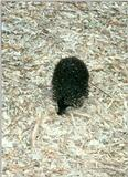 Short-nosed Echidna (1 image)