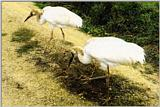 Bird from Korea - Siberian White Cranes [시베리아흰두루미]