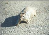 California Ground Squirrel skwerl0.jpg
