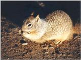Calif. Ground Squirrel skwerl1.jpg