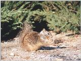 Calif. Ground Squirrel skwerl6.jpg