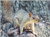 Fox Squirrel skwerl7.jpg