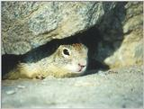 Calif. Ground Squirrel skwerl9.jpg