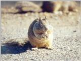 Calif. Ground Squirrel skwerl10.jpg