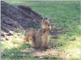 Fox Squirrel skwerl12.jpg