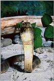 Snake4 - Indian Cobra (Naja naja)